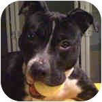 American Pit Bull Terrier/Pit Bull Terrier Mix Dog for adoption in Peoria, Illinois - Venus