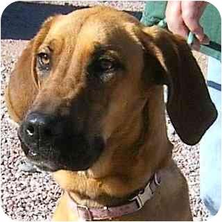 Great Dane/Hound (Unknown Type) Mix Dog for adoption in Colorado Springs, Colorado - Dahlia