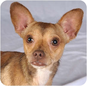 Chihuahua/Rat Terrier Mix Dog for adoption in Chicago, Illinois - Bentley