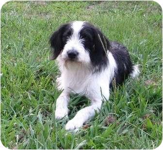 Sheltie, Shetland Sheepdog Mix Dog for adoption in Haughton, Louisiana - Natchitoches Hope (Mr. Buddy)