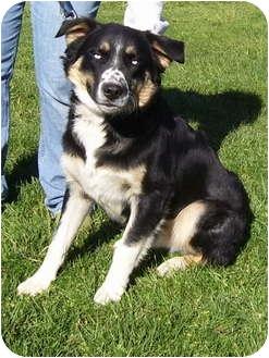 Husky Mix Dog for adoption in Somerset, Pennsylvania - Steele