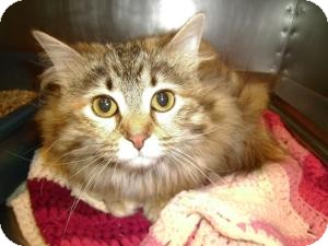 Domestic Longhair Cat for adoption in Tipton, Iowa - Fluffy