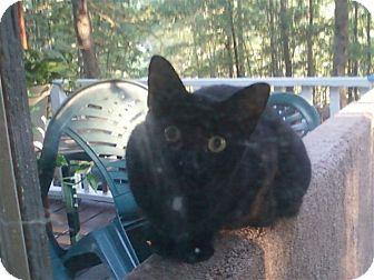 Domestic Shorthair Cat for adoption in Winder, Georgia - *Diablo