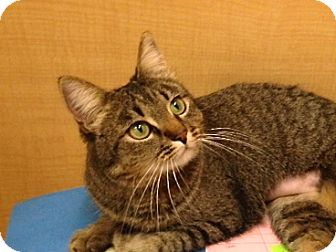 American Bobtail Cat for adoption in Foothill Ranch, California - Bobbi