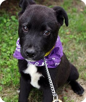 Border Collie/Labrador Retriever Mix Puppy for adoption in Groton, Massachusetts - Peyton