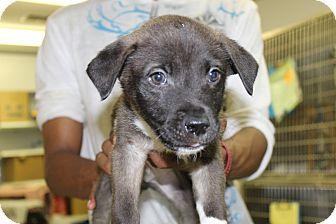 Labrador Retriever/Shepherd (Unknown Type) Mix Puppy for adoption in Waldorf, Maryland - Max
