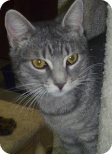 Domestic Shorthair Cat for adoption in Hamburg, New York - Mighty Joe