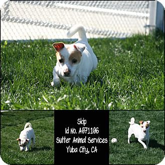 Jack Russell Terrier Mix Dog for adoption in Yuba City, California - **SPONSORED PUP** Skip