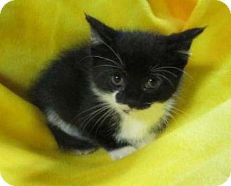 Domestic Shorthair Kitten for adoption in Rochester, New York - Clarice