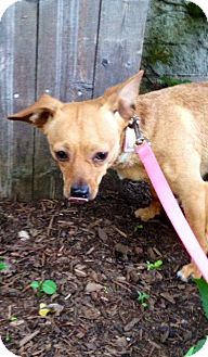 Chihuahua Mix Dog for adoption in Boston, Massachusetts - CARMELLA