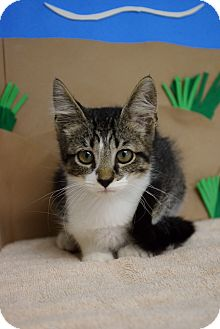 Domestic Shorthair Kitten for adoption in Bradenton, Florida - Hiccup