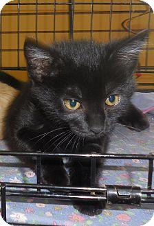 Domestic Shorthair Kitten for adoption in Rochester, Minnesota - Faelynn