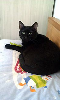 Domestic Shorthair Cat for adoption in St. Louis, Missouri - Teddy