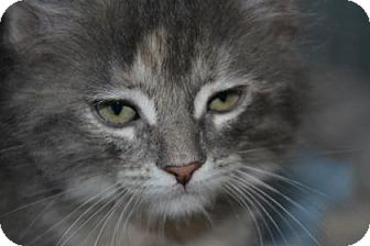 Domestic Shorthair Kitten for adoption in Edwardsville, Illinois - Cabernet