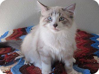 Domestic Longhair Kitten for adoption in Pinedale, Wyoming - Leo