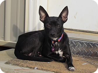 Chihuahua/Feist Mix Dog for adoption in Bedminster, New Jersey - TINKERBELL