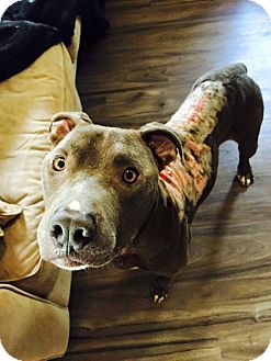 Pit Bull Terrier Mix Dog for adoption in Parker, Colorado - Devlin