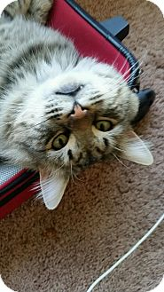Maine Coon Cat for adoption in Yuba City, California - Rocky