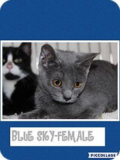 Russian Blue Kitten for adoption in Hagerstown, Maryland - Blue Sky (POM-KS)