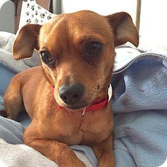 Chihuahua Mix Puppy for adoption in Middletown, Ohio - Alexander