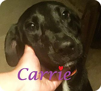 Labrador Retriever Mix Dog for adoption in Friendswood, Texas - Carrie