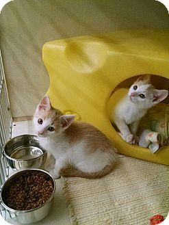Domestic Shorthair Kitten for adoption in Warren, Ohio - Boogie