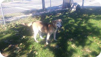 Labrador Retriever/German Shepherd Dog Mix Dog for adoption in New Windsor, New York - SANDY