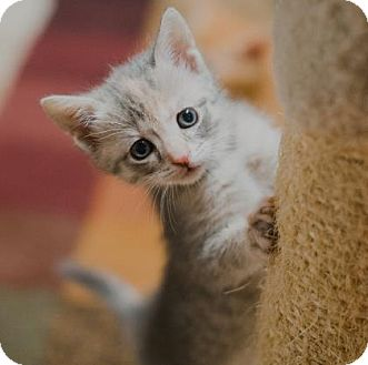 Domestic Shorthair Kitten for adoption in Wichita, Kansas - Dolly