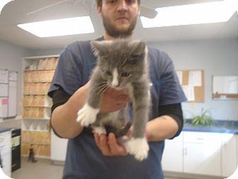 Domestic Shorthair Kitten for adoption in Somerset, Pennsylvania - Socks