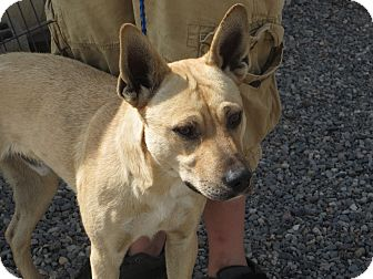 Australian Cattle Dog/Black Mouth Cur Mix Dog for adoption in Cedaredge, Colorado - Ginnes