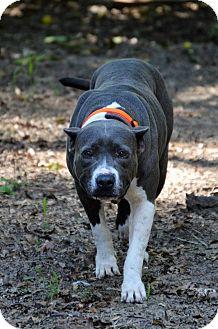 Pit Bull Terrier Mix Dog for adoption in Tampa, Florida - Saki Bomb
