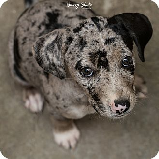 Terrier (Unknown Type, Medium) Mix Puppy for adoption in Greensburg, Pennsylvania - Pearl