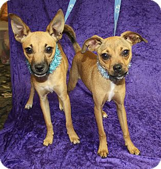 Chihuahua Mix Dog for adoption in Jackson, Michigan - Squiggey and Lenny