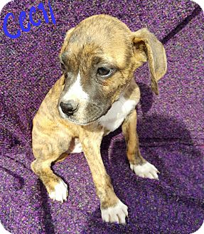 Boxer/Labrador Retriever Mix Puppy for adoption in Albany, North Carolina - Cecil