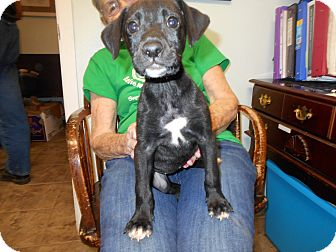 Labrador Retriever Puppy for adoption in Cottonport, Louisiana - Oakie
