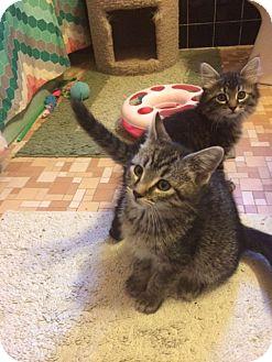 Domestic Mediumhair Kitten for adoption in Overland Park, Kansas - Abbie & April