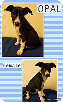 Terrier (Unknown Type, Medium) Mix Puppy for adoption in East Hartford, Connecticut - Opal meet me 6/2