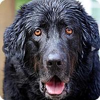 Adopt A Pet :: Pip - Surrey, BC
