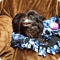 Adopt A Pet :: SUGAR - ADOPTED!! - Lynnwood, WA