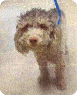 Poodle (Miniature) Mix Dog for adoption in Spokane, Washington - Ian