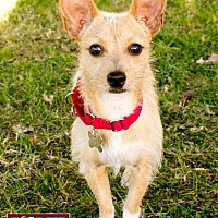 Terrier (Unknown Type, Small) Mix Dog for adoption in Marina del Rey, California - Oso