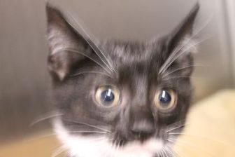 Domestic Shorthair/Domestic Shorthair Mix Cat for adoption in Daytona Beach, Florida - HUNTER