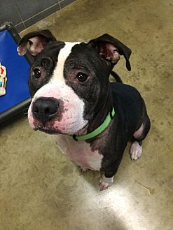 Pit Bull Terrier Mix Dog for adoption in Jackson, Michigan - Harvey