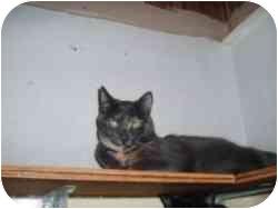 Domestic Shorthair Cat for adoption in North Boston, New York - Star