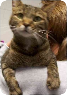 Domestic Shorthair Cat for adoption in Somerset, Pennsylvania - Zoe