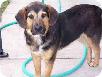 Basset Hound/Beagle Mix Dog for adoption in Battleground, Indiana - Jesse