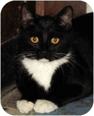 Domestic Shorthair Cat for adoption in Milton, Massachusetts - Hailey