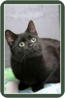 Domestic Shorthair Cat for adoption in Sterling Heights, Michigan - Ebony - ADOPTED!