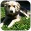 Photo 3 - Collie/German Shepherd Dog Mix Dog for adoption in Latrobe, Pennsylvania - Gordon