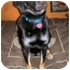 Photo 4 - Labrador Retriever/German Shepherd Dog Mix Dog for adoption in Latrobe, Pennsylvania - Dudley